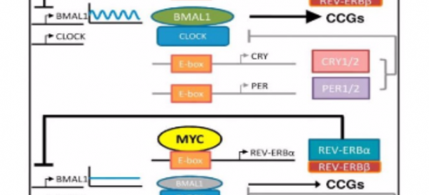 The Potential of C-MyC as a Molecular Target